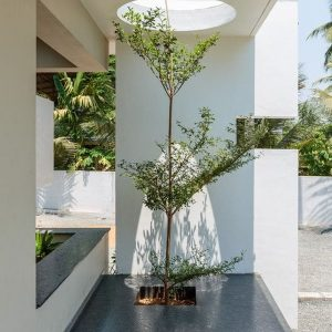 cây Bàng Đài Loan trồng trong nhà