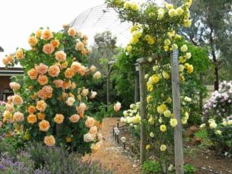 trồng hồng leo trong chậu xi măng